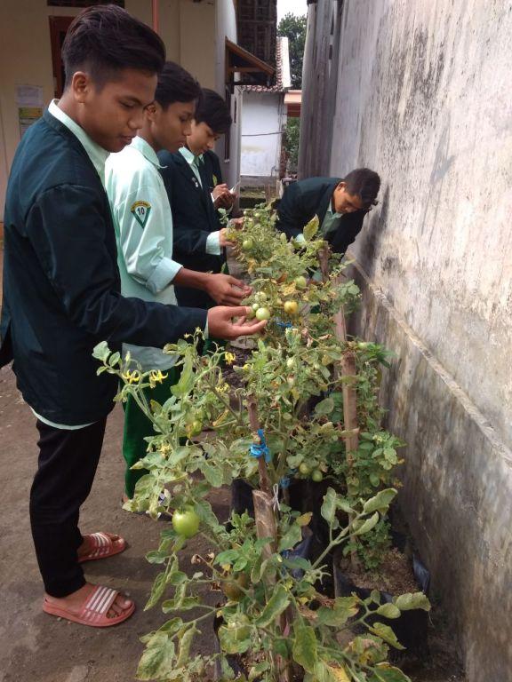Progres Hasil Berkebun Menanam Benih Tomat oleh Para Santri Putra Villa Qur'an
